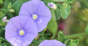 Balkonpflanzen: Blaue Mauritius - ein Geheimtipp!