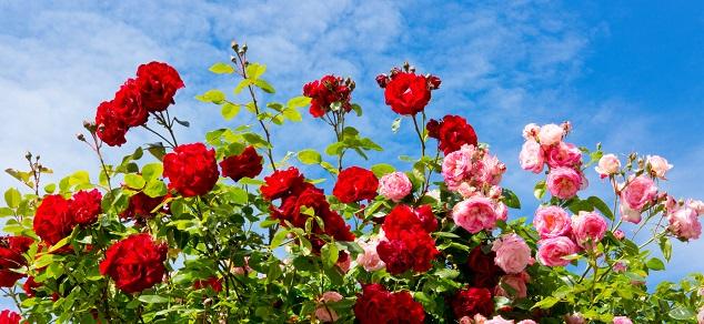Wer neue Rosen im Garten hat, der profitiert besonders in der warmen Jahreszeit von einer ganz besonderen Blütenpracht. (#01)