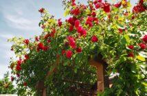 Ein neuer Rosenstock: Blumen, Pflanzenpflege und mehr!