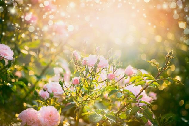 Nachdem die neue Rose gepflanzt ist, ist es notwendig, diese gut anzugießen. (#02)