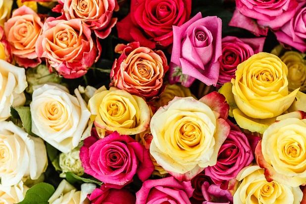 Ein Rosenstock muss bei großer Trockenheit lediglich ein- bis zweimal pro Woche gewässert werden. (#04)