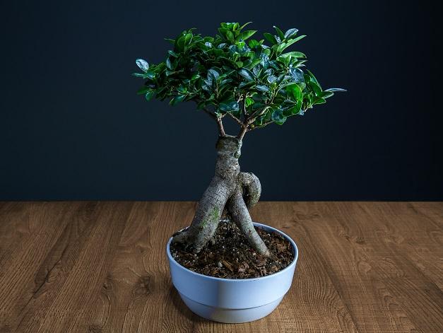 Auch in Sachen gießen zeigt sich der Ficus Ginseng sehr pflegeleicht: Er sollte stets dann gegossen werden, wenn die Erde langsam trocken wird. (#01)