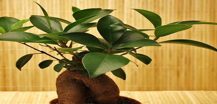 Ficus Ginseng: Bonsai oder keiner?