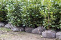 Kirschlorbeer: Pflege, Sorten & Tipps