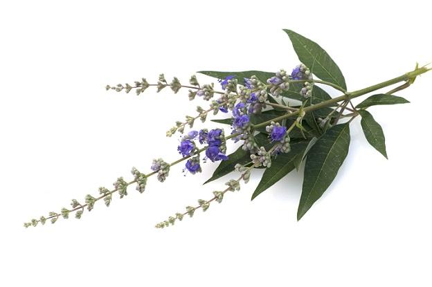 Der Mönchspfeffer gehört zu der Gattung der Vitex in der Familie der Lippenblütler. (#01)