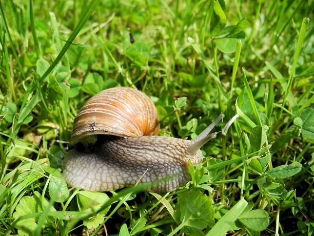 Gehäuseschnecken sind deutlich kleiner und haben einen geringeren Bedarf an Nahrung. Trotzdem fressen auch sie verschiedene Pflanzenarten an. (#01)