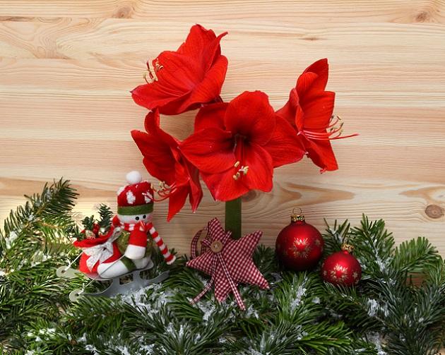 Im Dezember bzw. Januar des neuen Jahres kann dann pünktlich um die Weihnachtszeit mit einer wundervollen Blütenpracht gerechnet werden. Nach Weihnachten ist also auch im Sinne der Amaryllis schon wieder vor Weihnachten: (#02)
