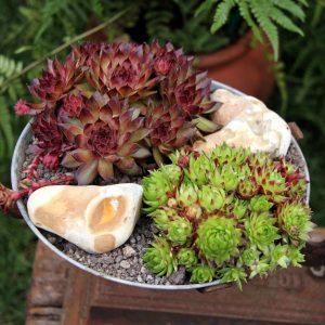 Der Hauswurz fügt sich in viele Nischen in Garten und Terrasse geradezu harmonisch ein. Anhänger des Feng Shui müssen sich vor seinen spitzen Blättern etwas in Acht nehmen. Alle anderen können sich an dem DIY-freundlichen Gewächs erfreuen. (#5)
