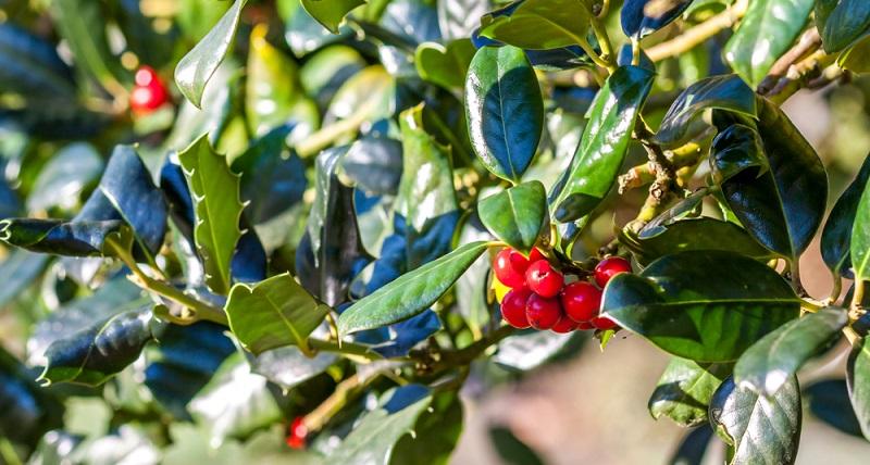 Breitwüchsiger Kirschlorbeer (Lateinisch: Prunus laurocerasus) wird auch als 'Otto Luyken' benannt und ist eine wunderschöne, immergrüne Heckenpflanze mit einer maximalen Höhe von um die 1,25 Meter. (#01)