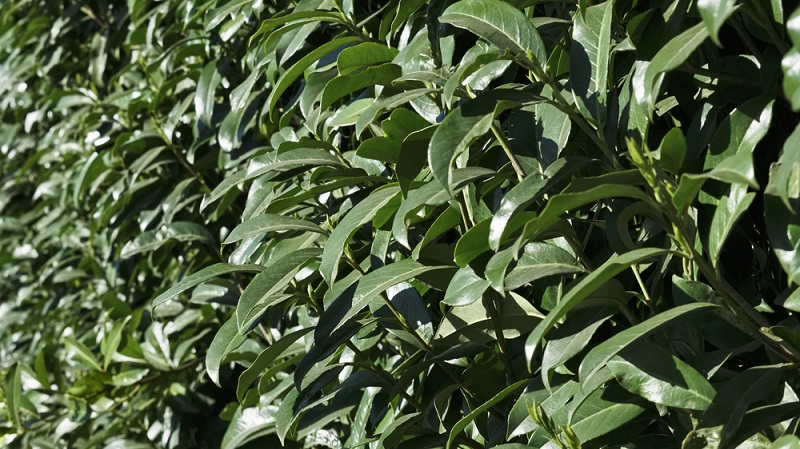 Wer diese Pflanzen vor allem als Heckenpflanze nutzen möchte, der sollte in erster Linie ihre Wuchseigenschaften beachten. (#04)