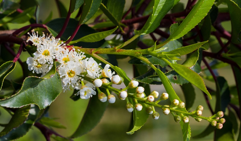 Die Portugiesische Lorbeerkirsche und andere Sorten der Kirschlorbeer Hecke sind entweder als Kirschlorbeer XXL oder als niedrig wachsende Pflanzen erhältlich. (#06)
