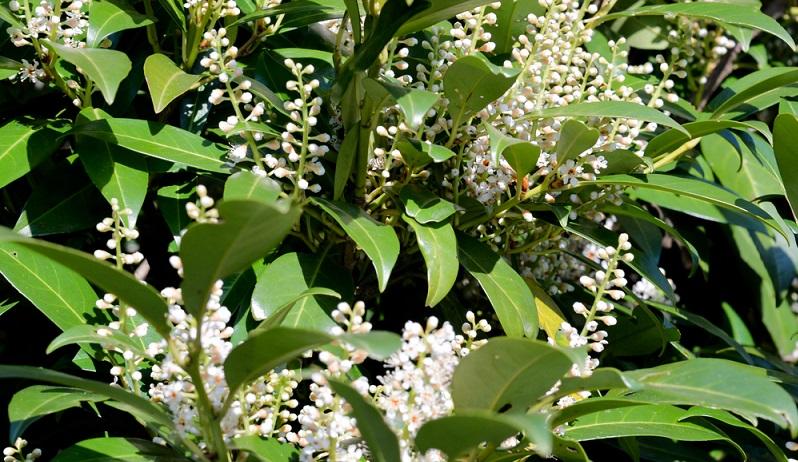Von Vorteil ist auch, dass die Lorbeerkirsche ein so genannter immergrüner Strauch oder Baum ist. (#02)Von Vorteil ist auch, dass die Lorbeerkirsche ein so genannter immergrüner Strauch oder Baum ist. (#02)