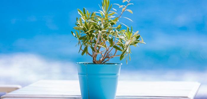 Olivenbaum überwintern: 5 einfache Tipps und Regeln