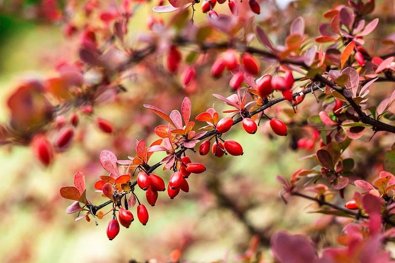 Bei der Berberitze sind die Früchte rot – die Blüte ist gelb. Man kann sie dennoch zu den roten Blumen zählen. (#04)