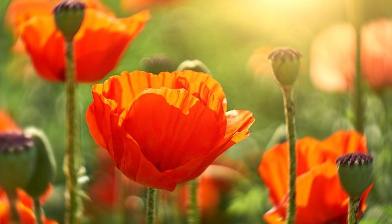 Der Klatschmohn (auch Mohnblume oder Klatschrose) ist meistens in kräftigem rot zu sehen. Selten gibt es ihn auch mit weißen oder violetten Blüten. (#02)