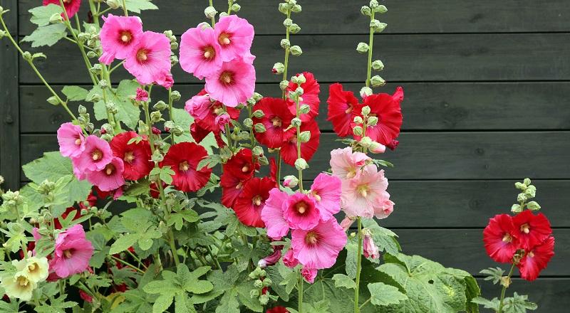 Rote Blumen: Die gewöhnliche Stockrose (auch Bauernrose oder Stockmalve) gibt es in vielen Rottönen, selten auch in weiß. (#03)