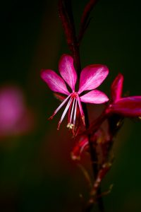 Rote Blumen: Die Prachtkerze besticht durch ihre leuchtenden Blüten und ihre lange Blütezeit. (#08)