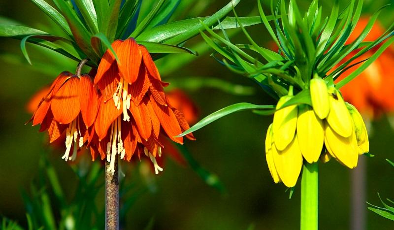 Die Kaiserkrone (Königslilie bzw. Kronblume) besticht durch ihre großen, prächtigen Blüten. (#07)