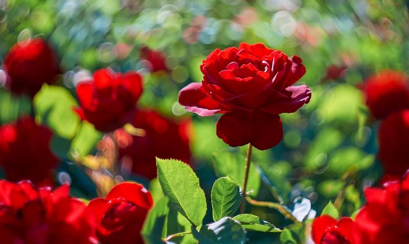 """Rosen sind wohl die bekanntesten """"roten Blumen"""", die es gibt. (#14)"""