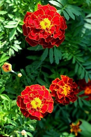 Auch Tagetes gibt es als rote Variante, eine wunderschöne Blume für einen wunderschönen Garten. (#13)