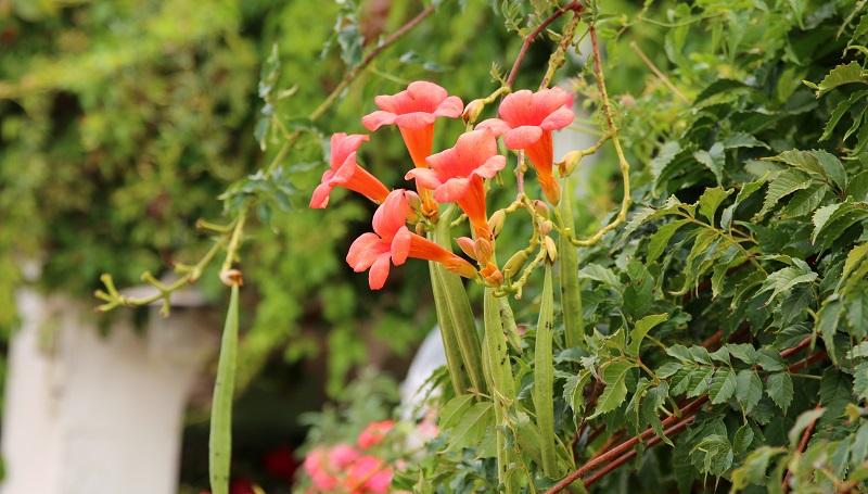 Die Trompetenblume klettert von allein, freut sich jedoch über eine Rankhilfe. (#09)