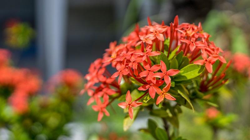 Wolfsmilch gibt es in vielen, verschiedenen Farben und Formen und eben auch als rote Blume. (#10)