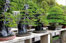 Bonsai Baum pflegen: So geht's!
