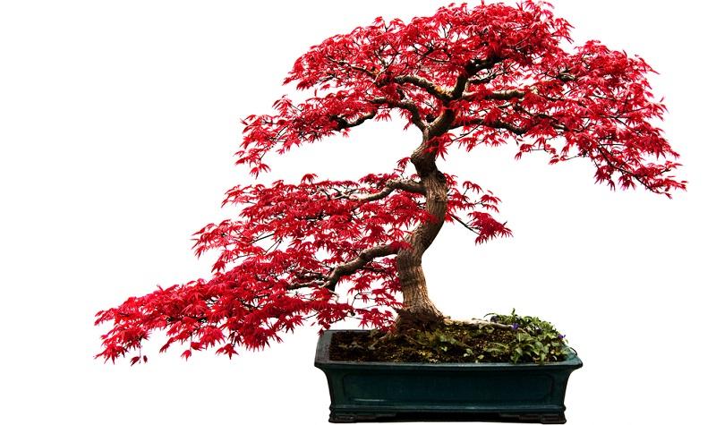 Auch farbenprächtige Bonsai Bäume lassen sich ziehen, wie der japanischer Ahorn.