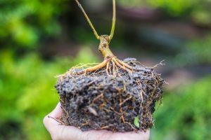 Der Bonsaibaum wird komplett aus der Schale genommen, samt Erde und Wurzelwerk. Danach wird die Wurzel vorsichtig bis etwa zur Hälfte von der Erde befreit.