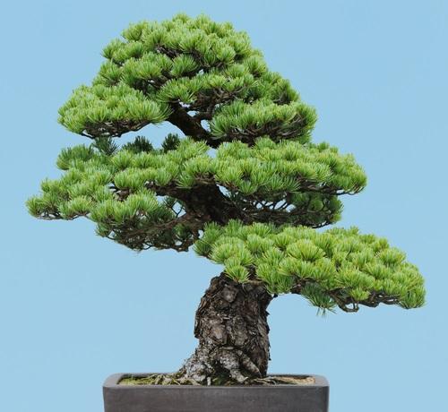 Ein japanischer Weißkiefer Bonsai. Nadelbäume, wie die Kiefer, sind besonders beliebt in der Bonsai Gestaltung.