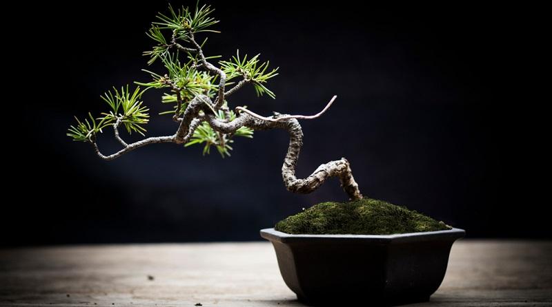 Bonsai: Kleiner Baum – gepflanzt in einer Schale oder einem flachen Gefäß.