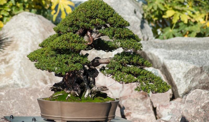 Auch für die Bonsai Gestaltung eignet sich die Eibe bestens.