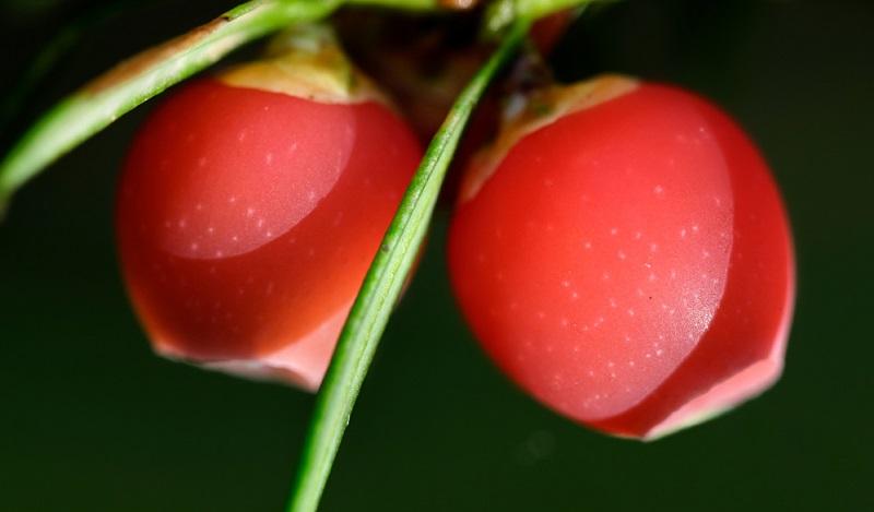 Weibliche Eiben bestechen durch ihre knallig roten Beeren.