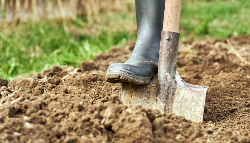 Mit einem Spaten werden vorsichtig Erdblöcke ausgegraben, in denen sich die einzelnen Brutzellen befinden.