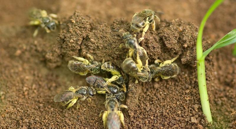 Erdbienen beschatten: Ein Sonnenschirm oder Sonnensegel wird über den Bruthöhlen platziert.