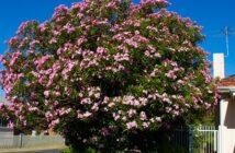 Oleander: Pflanzen, pflegen & überwintern