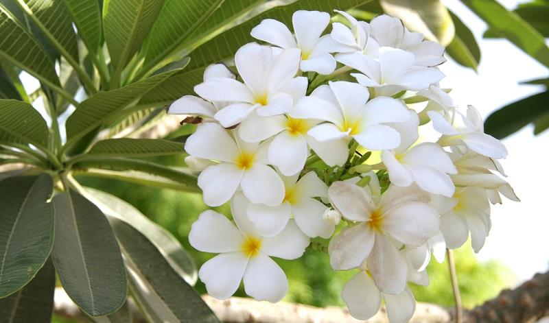 Alba, in Reinweiß, einfache weiße Blüte mit kleiner, gelber Mitte.