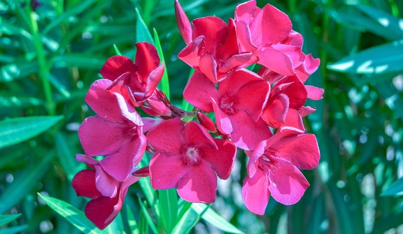 Der Oleander ist ein immergrüner Strauch und kann selbst im Kübel Größen von über zwei Metern erreichen.