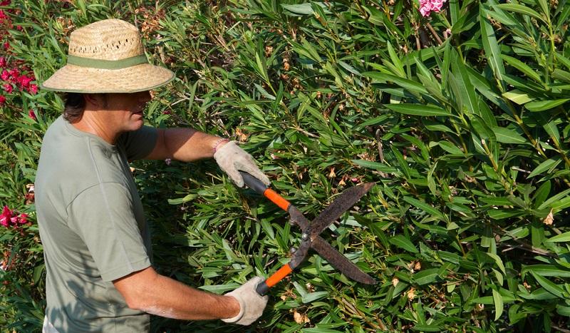 Bei zu groß gewordenen, aus der Form geratenen, unten verkahlten Pflanzen oder bei starkem Schädlingsbefall kann im März ein radikaler Rückschnitt erfolgen.