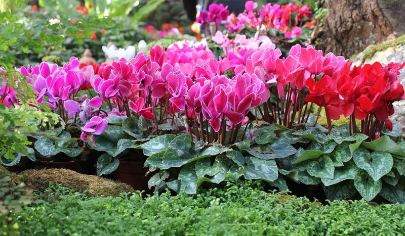 Vermehren kann man das Alpenveilchen, in dem man ihre frischen, kurzlebigen Samen in die Erde gibt.