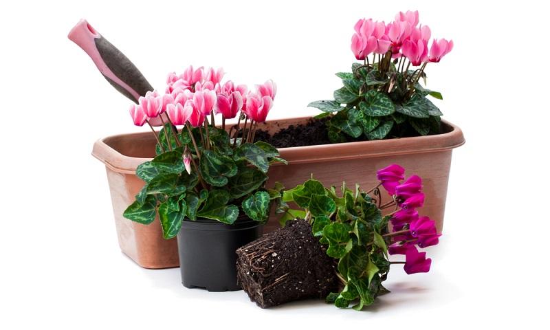 Im 17. Jahrhundert fand das Zimmeralpenveilchen seinen Weg von Kleinasien nach Europa und wurde zur beliebten Zierpflanze für das Zuhause.