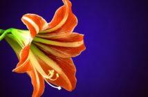Amaryllis: Pflanzen, pflegen & umtopfen