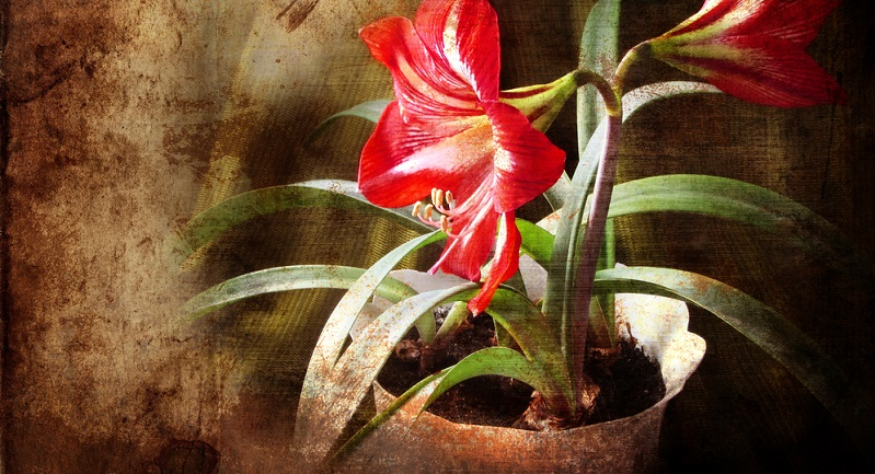 Da die Amaryllis drei Vegetationsphasen hat, gehört sie zu den Pflanzenarten, die gerne mal umziehen. Die Wachstumsphase dauert vom Frühling bis in den Sommer.