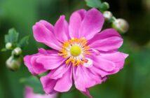 Anemone: Pflanzen, Pflege & düngen