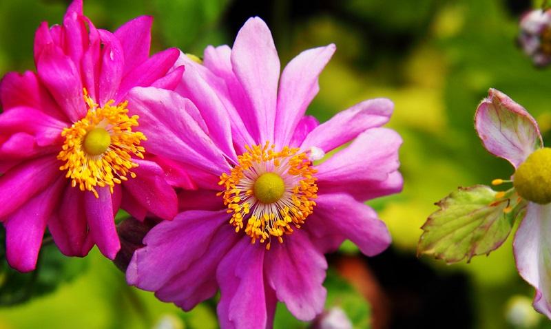 Royale Blütenpracht präsentiert auch die Sorte Prinz Heinrich. Diese Anemone zählt wie die Honorine Jobert zu den historischen Sorten und kann ebenfalls bis zu 100 Zentimeter hoch wachsen.
