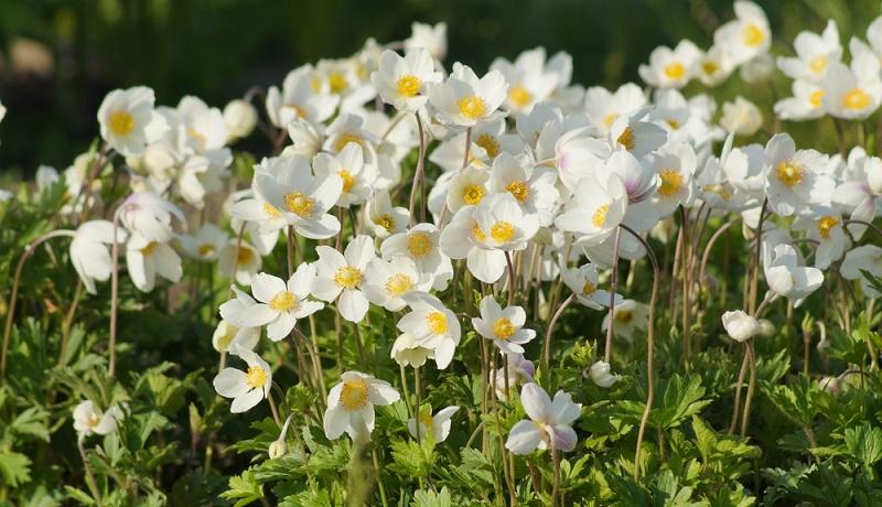Die meist schalenartigen, bunten Blüten sind sehr zart und tanzen selbst in sanften Windbrisen.