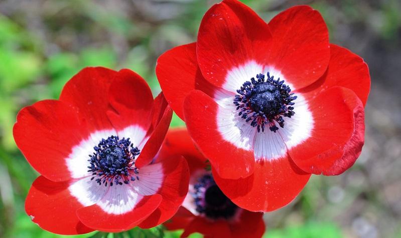 Anemonen sind krautartige und ausdauernde Pflanzen, die entweder Knollen oder Rhizome als Überdauerungsorgane besitzen.