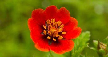 Fingerkraut: Pflanzen, Pflege & Tipps