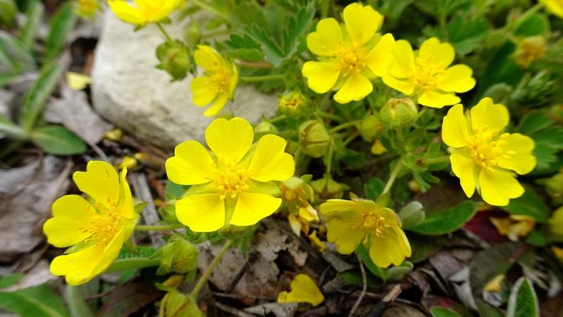 Zwerg-Fingerkraut: Kleine, gelbe Blüten und eine Wuchshöhe von nur fünf Zentimetern