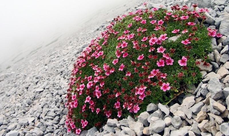 Man mag es kaum glauben, aber auch hier ist das Rosengewächs mehr als einfach in der Pflege.